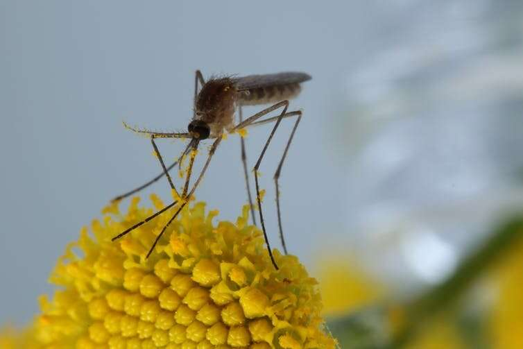 The bizarre and ecologically important hidden lives of mosquitoes