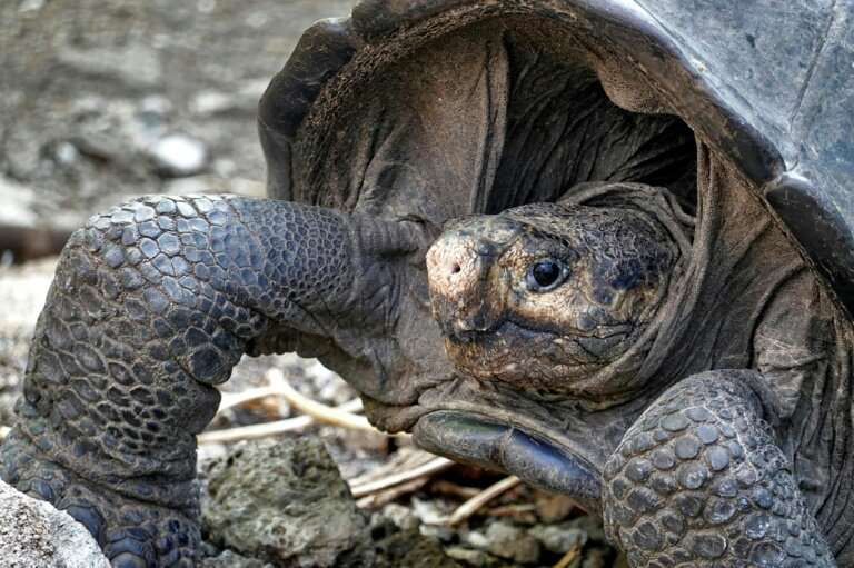The Fernandina Giant Tortoise was thought to have become extinct more than 100 years ago until this adult female was discovered