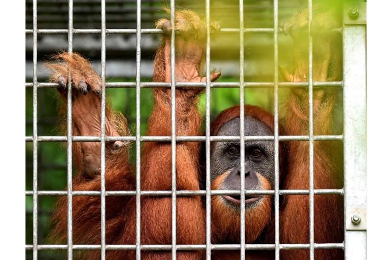 The healthy pair have joined nearly 120 other orangutans freed from captivity at the conservation site
