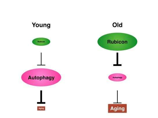 The key to increased lifespan? Rubicon alters autophagy in animals during aging