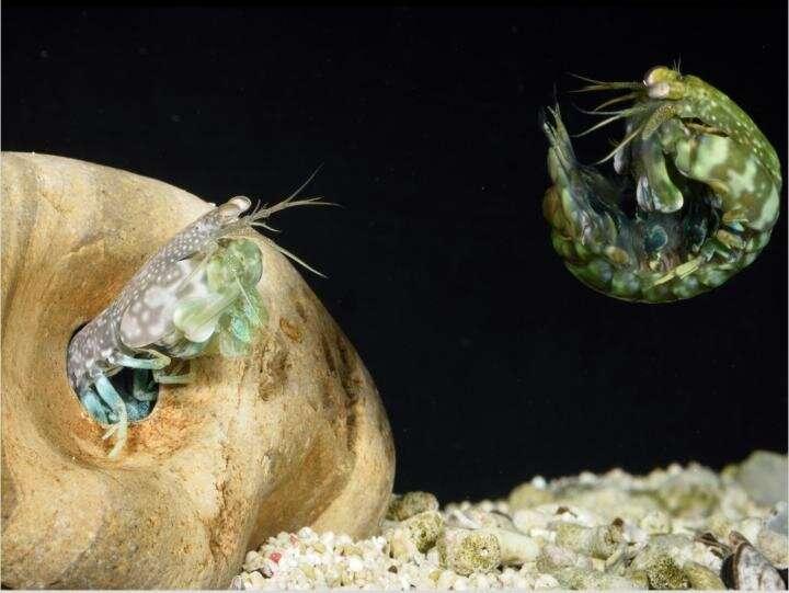 The mantis shrimp's perfect shield