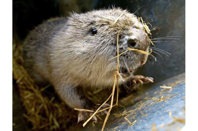 The National Trust aims to release Eurasian beavers at two sites in southern England early next year