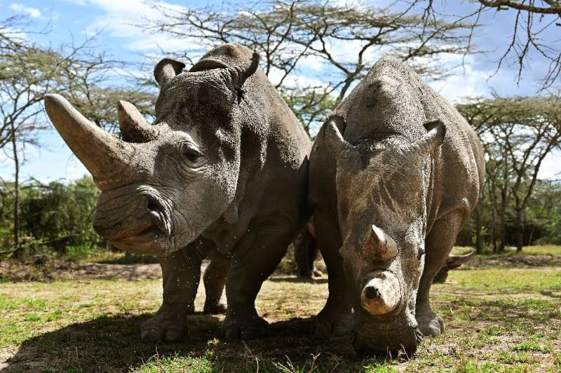 The northern white rhino is in critical danger of extinction, with only two females left in the world