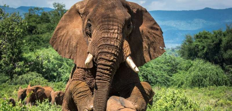 The older you get, the harder you seek: the mating secrets of Africa's bull elephants