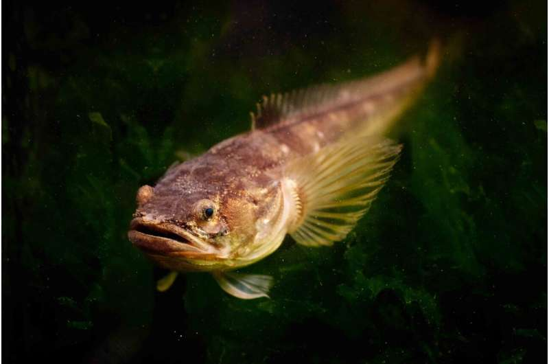 The power of a love song: Dopamine affects seasonal hearing in fish and facilitates mating