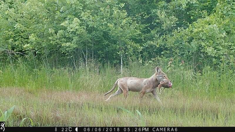 The recent spread of coyotes across North America did not doom deer populations