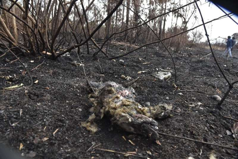 The remains of a fox killed in a forest fires in the Otuquis National Park in eastern Bolivia