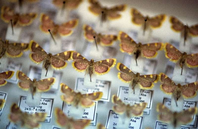 Estas mariposas son parte de una colección de insectos en la Sociedad de Entomología en Krefeld, Alemania occidental que su presidente s