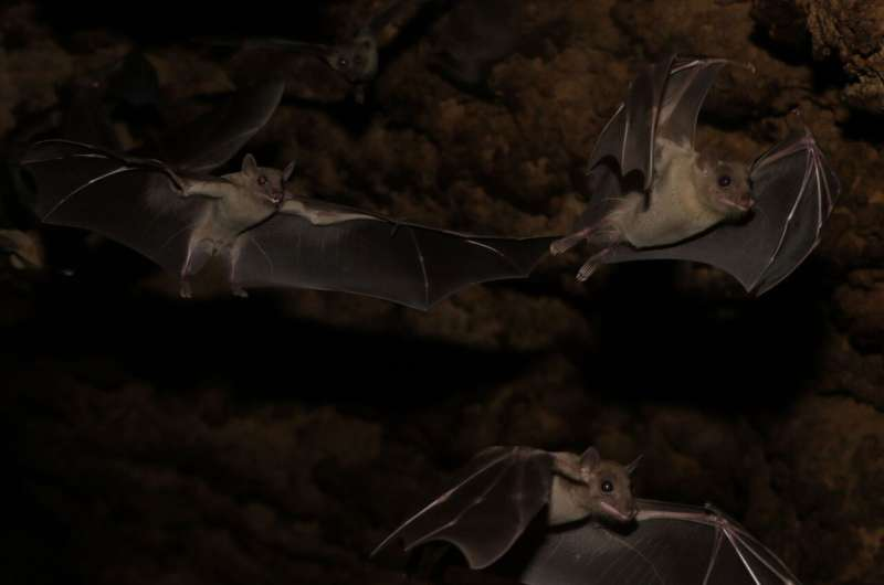 These fruit bats trade food for sex