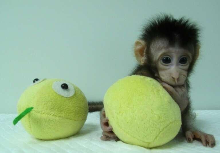 El instituto de Shanghai fue noticia en enero de 2018 al anunciar que los investigadores habían clonado los dos primeros monos mediante un proceso cal