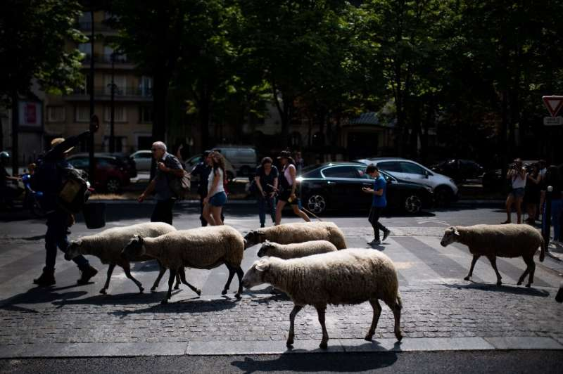 The shepherds took their herd on a 140km (87-mile) odyssey from Saint-Denis north of Paris to the left bank of the Seine in the