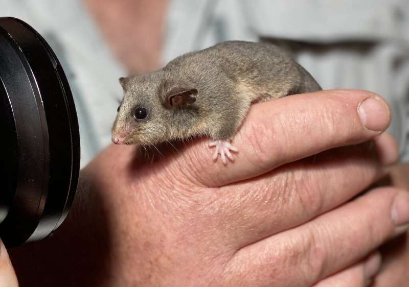 The tiny mountain pygmy possum lives in Australia's alpine regions but less than 2,500 remain in the wild, according to estimate