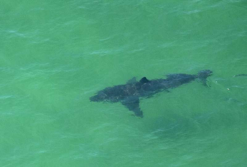 This great white shark was seen off the coast of Cape Cod on July 13, 2019