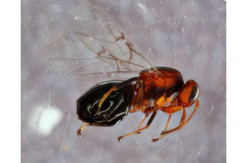 This handout image obtained courtesy of Andrew Forbes/University of Iowa shows a species of gall wasp (Bassettia pallida), a par