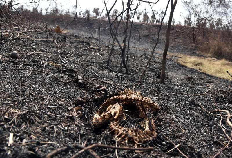 This snake could not escape the flames of a fire in the Otuquis National Park in eastern Bolivia