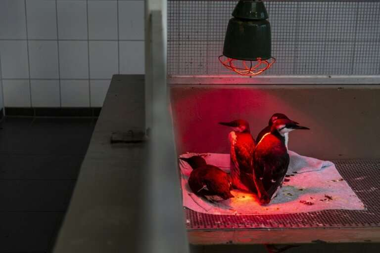 Those birds still alive have been treated with tube feeding of with a special mix of fish, glucose and electrolytes