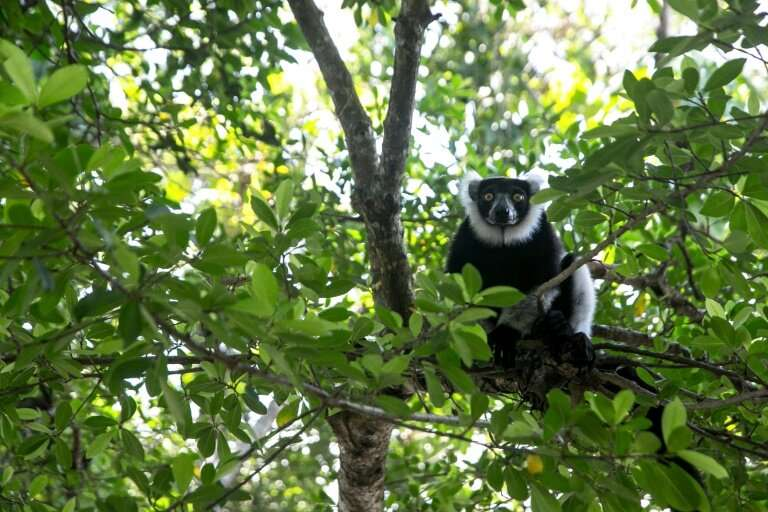 Threatened: Lemurs in Madagascar's Vohibola forest are in danger of being wiped out by poaching and logging