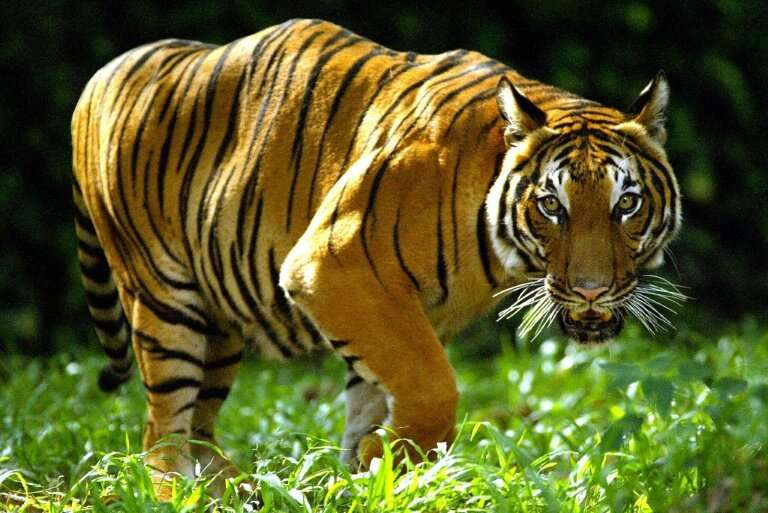 Tigers are considered critically endangered in Malaysia