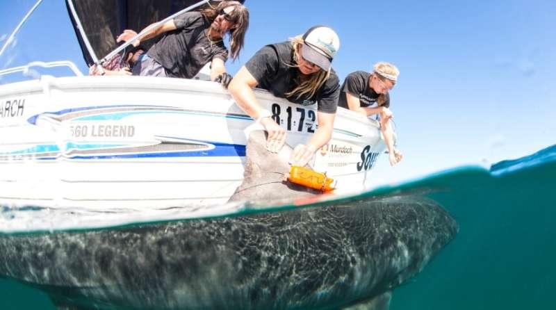 Tiger sharks revealed as lazy predators