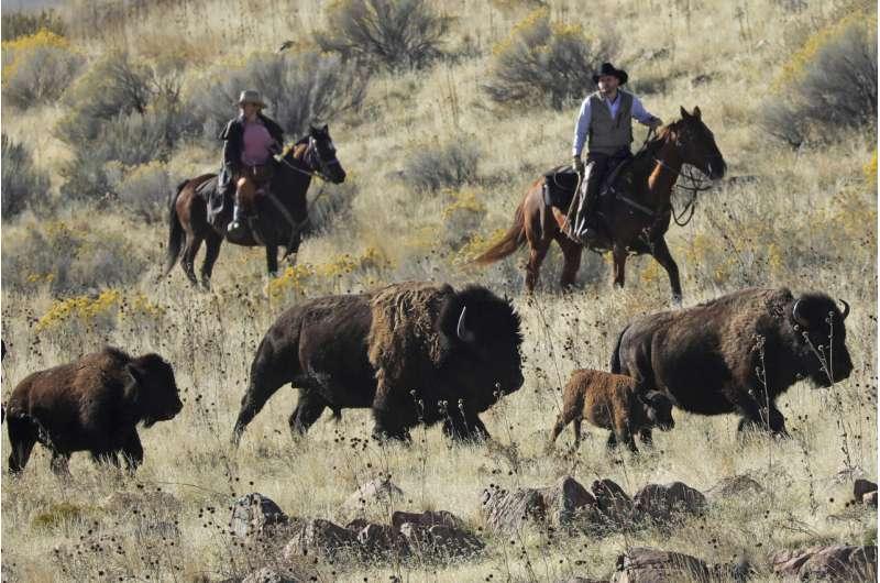 Time ticks away at wild bison genetic diversity