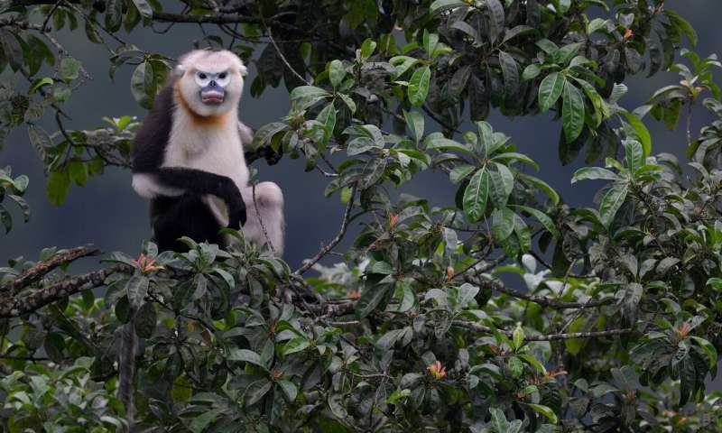 Tonkin snub-nosed monkey resurgence offers renewed hope for rare Vietnamese primate