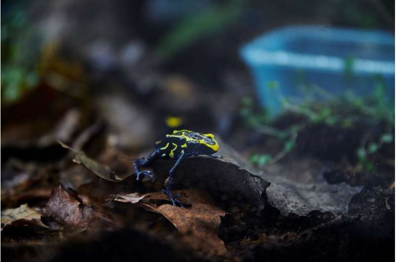 Toxic frogs with weak defenses persist in the gene pool alongside stronger competitors