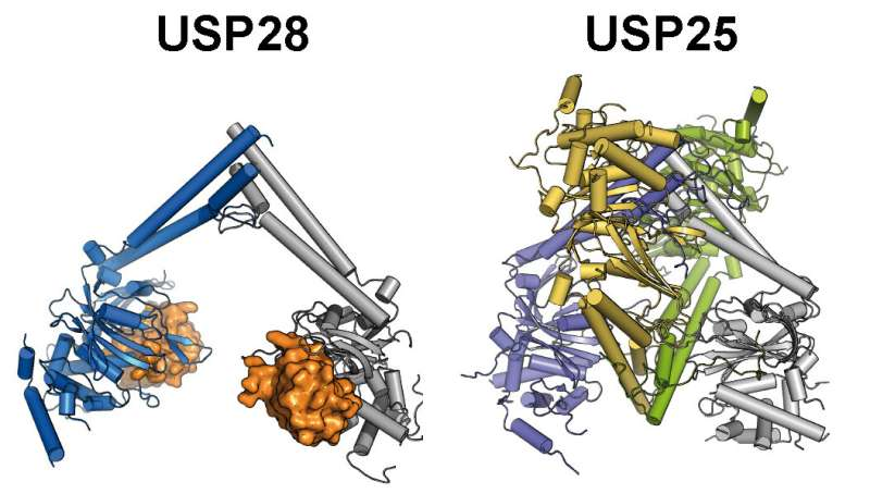 Tumor-promoting enzymes USP25 and USP28: Substantial differences identified