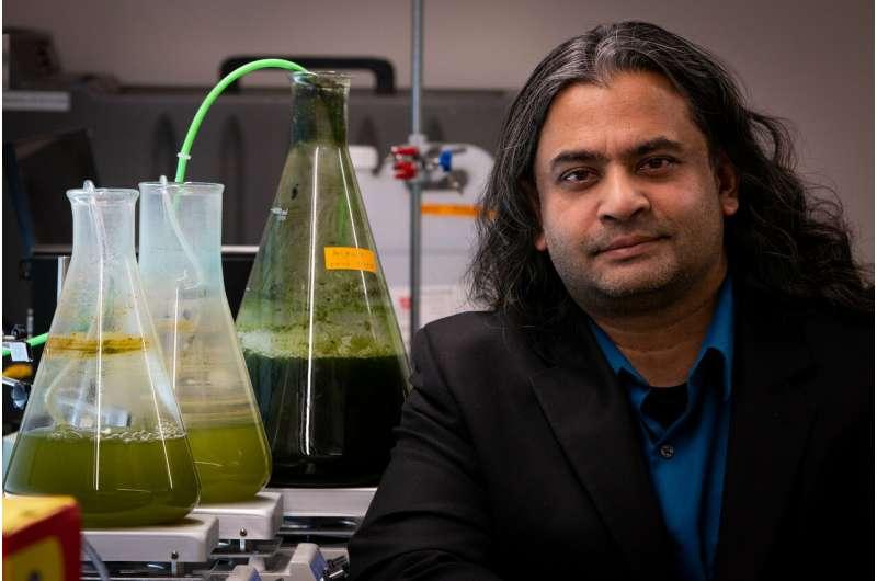 Turning algae into fuel