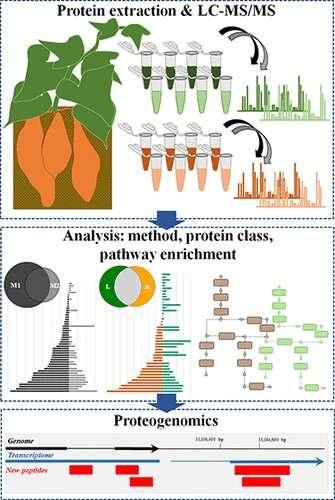 Unearthing the sweet potato proteome