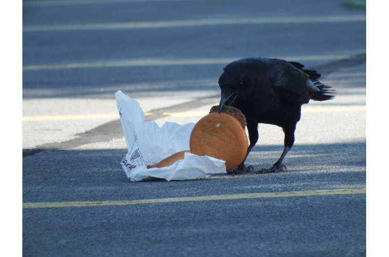 Urban living leads to high cholesterol...in crows