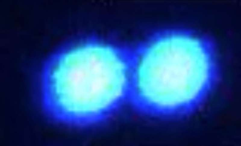 Using laser 'tweezers,' scientists grab and study tiny protein droplets