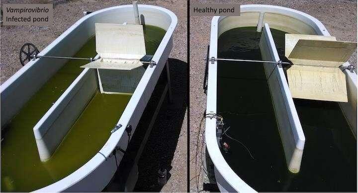 Vampire algae killer's genetic diversity poses threat to biofuels