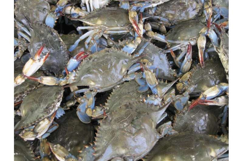 Warmer winters could lead to longer blue crab season in Chesapeake Bay