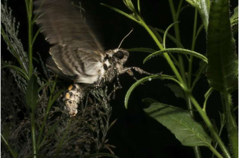 When laying their eggs, tobacco hawkmoths avoid plants that smell of caterpillar feces