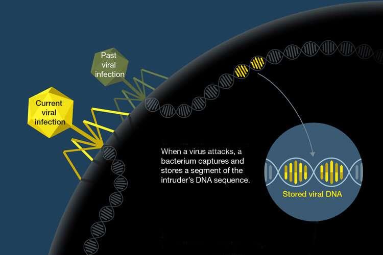 Whopping big viruses prey on human gut bacteria