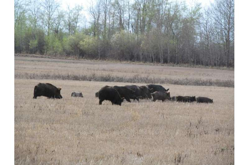 Wild pigs invade Canadian provinces