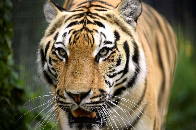 With an average of more than 120 illegally trafficked tigers seized each year since the year 2000, conservation group Traffic wa