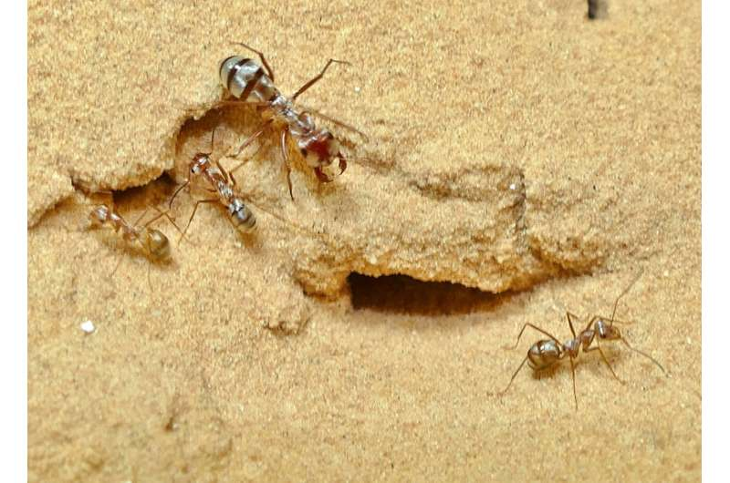 World's fastest ant hits recording breaking speed of 855mm/s