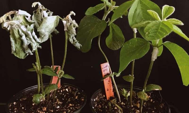 Worm pheromones protect major crops