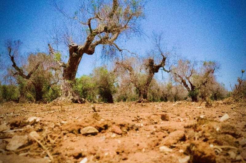 Xylella fastidiosa has devastated ancient olive trees in Italy's southern Apulia region and beyond since 2013, leaving thousands