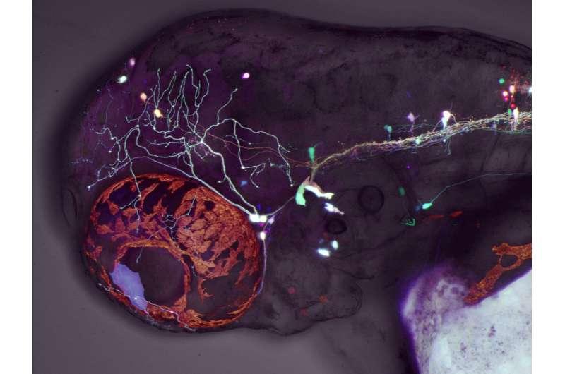 Zebrafish study reveals developmental mechanisms of eye movement