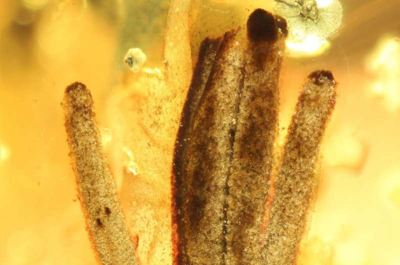 100 million years in amber: Researchers discover oldest fossilized slime mold