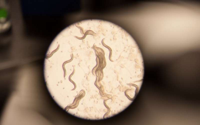Researchers identify link between obesity and sleep loss in worms
