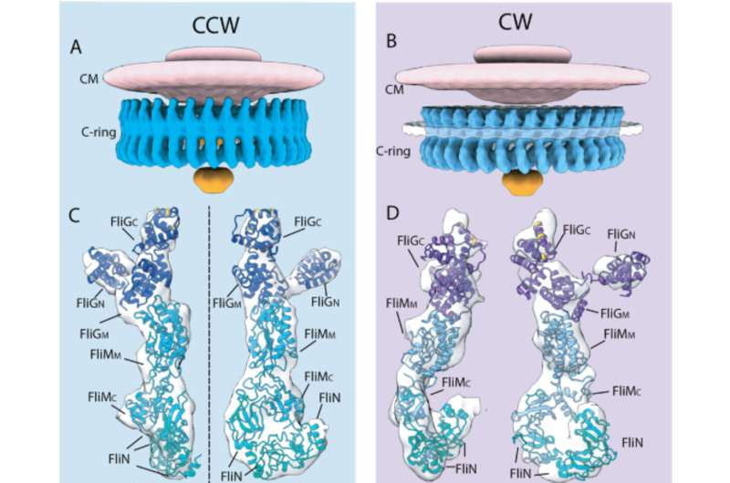 3-D model shows bacterial motor in action