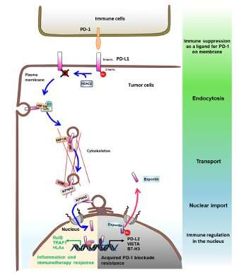 Increasing the effectiveness of cancer treatments: Anti-PD-L1 immunotherapy