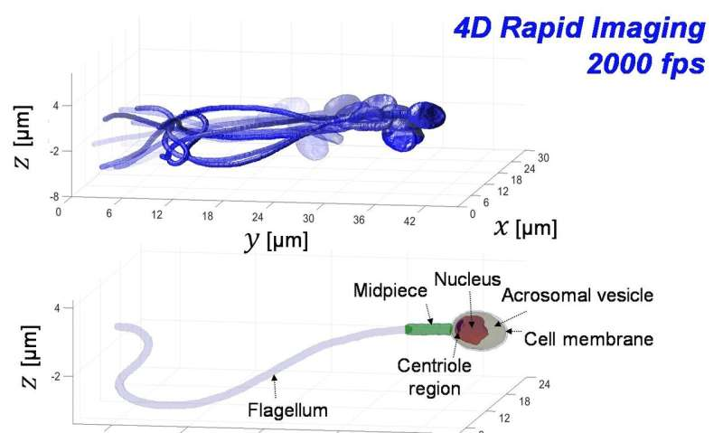 Accurate 3D imaging of sperm cells moving at top speed could improve IVF treatments