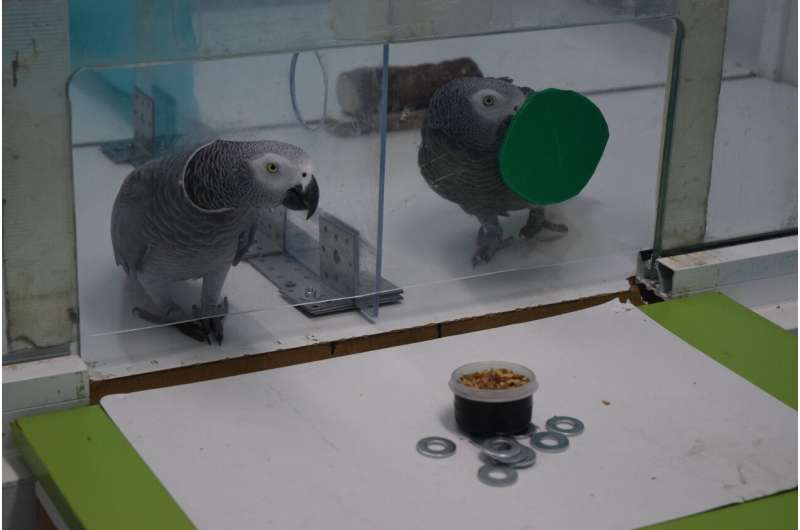 African grey parrots spontaneously 'lend a wing'