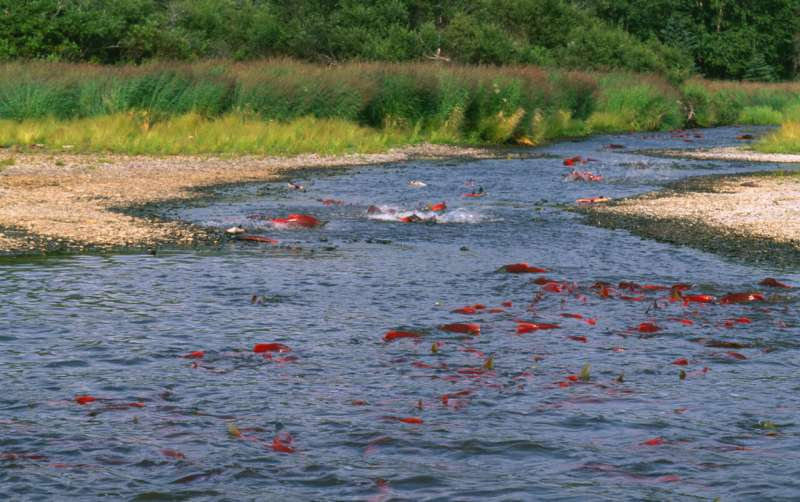 Alaska's salmon are getting smaller, affecting people and ecosystems