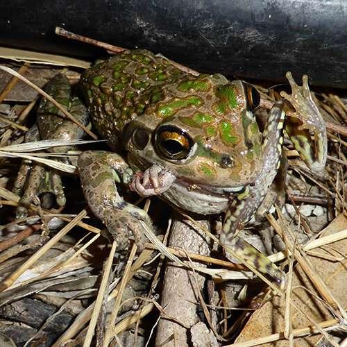 Alien frog invasion wreaks havoc on natural habitat