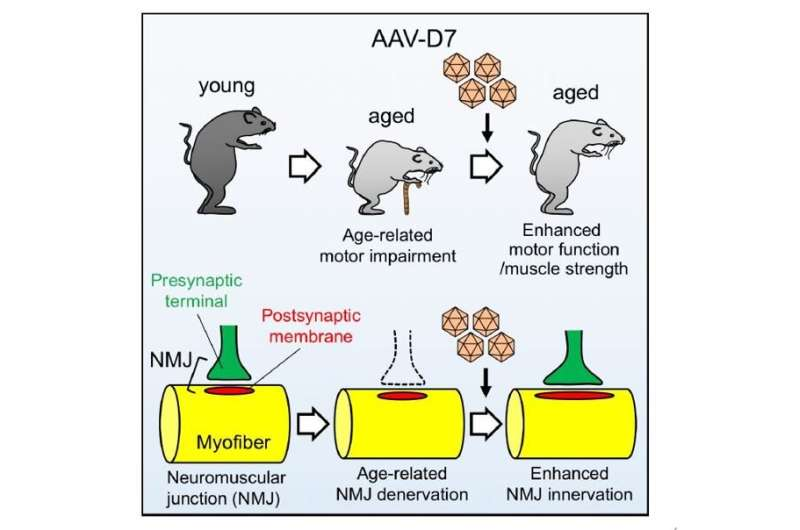 A new treatment concept for age-related decline in motor function